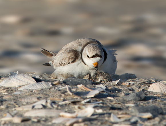 piping-plover-wet-chick1