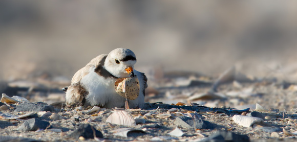 piping-plover-with-eggshell