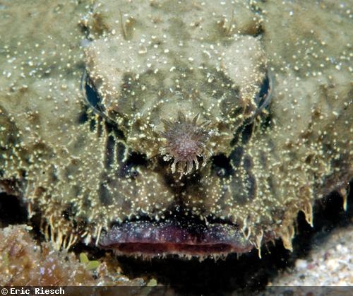 Shortnose Batfish Divephotoguide.com Eric Reich