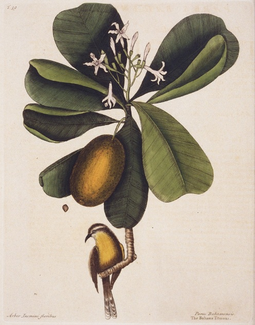 Mark Catesby - 'Bahama Titmous' (Bananaquit)