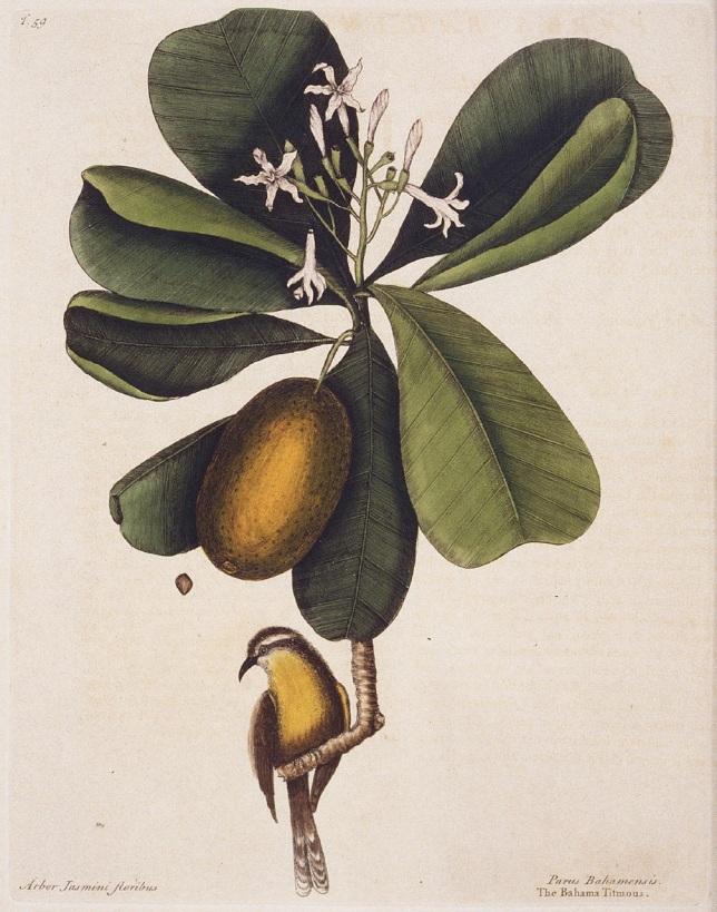 Mark Catesby - 'Bahama Titmous' (Bananaquit)