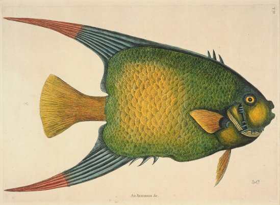 Mark Catesby - Angelfish
