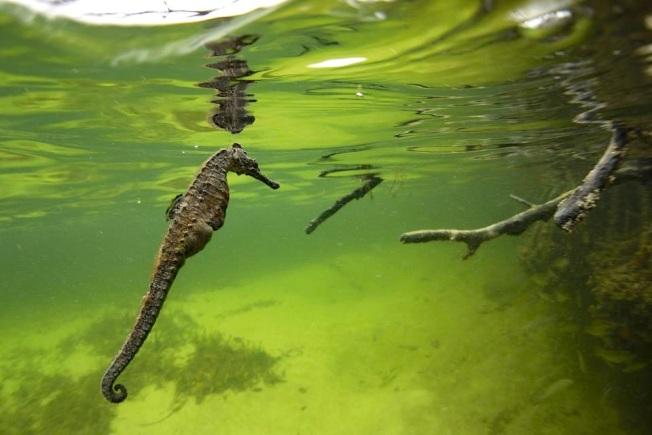 Seahorse (Bimini's Marine Protected Area Campaign)
