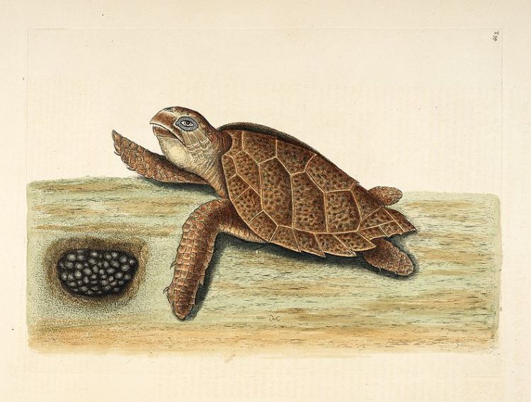 Mark Catesby - plate 139 Hawksbill Turtle