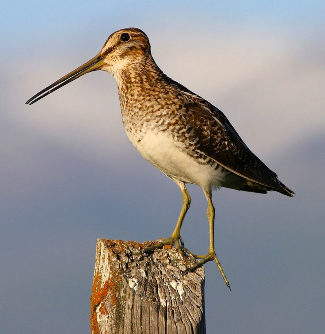 800px-Common_snipe_fencepost (Sean Breazeal)
