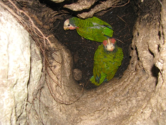 Abaco Parrot nest (Caroline Stahala)