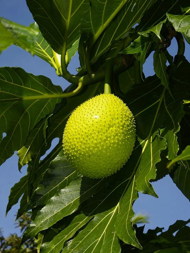 Artocarpus altilis - breadfruit (Hans Hillewaert)
