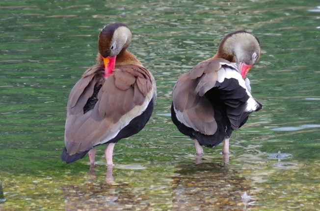 Black-bellied Whistling Ducks 1