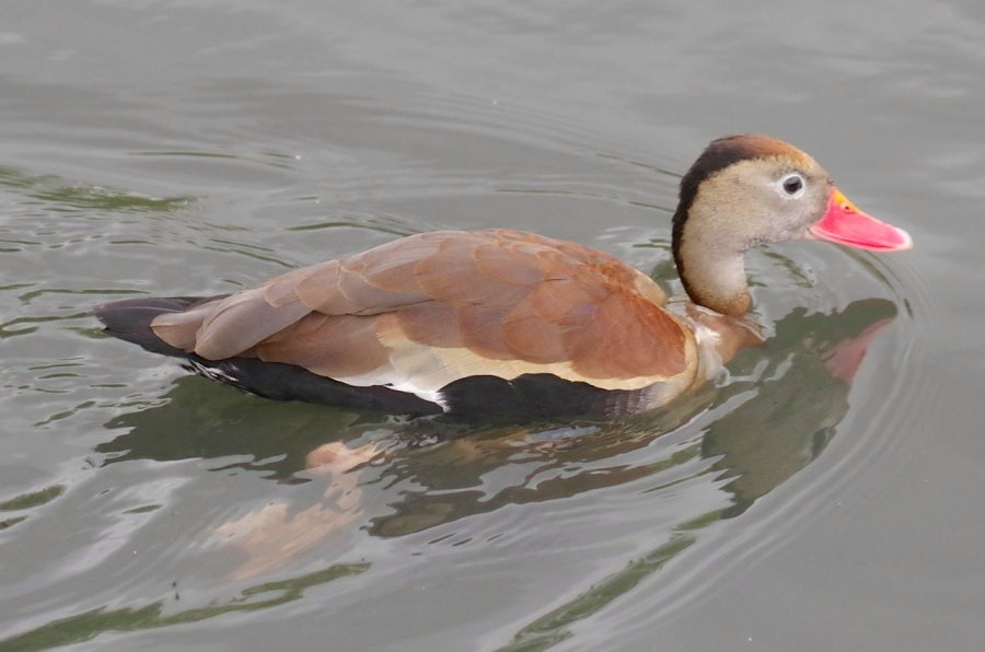 Black-bellied Whistling Ducks 11