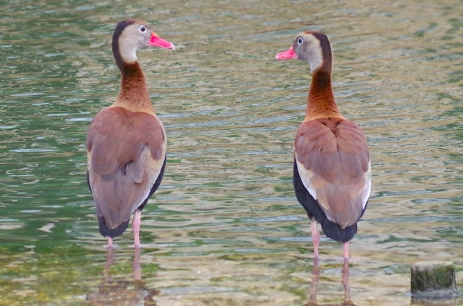 Black-bellied Whistling Ducks 12
