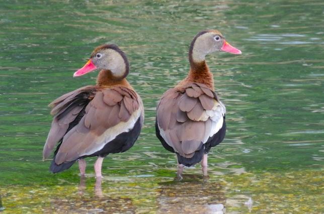 Black-bellied Whistling Ducks 13