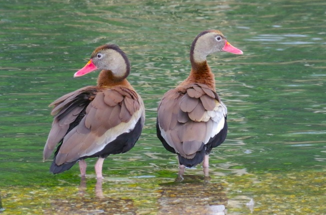 Black-bellied Whistling Ducks 13