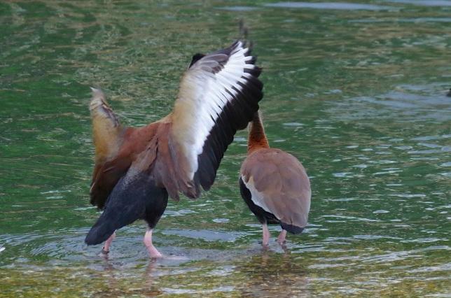 Black-bellied Whistling Ducks 2