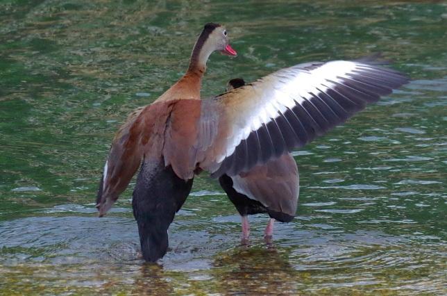 Black-bellied Whistling Ducks 3