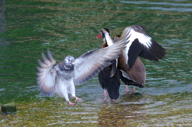 Black-bellied Whistling Ducks 4