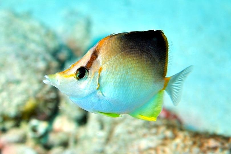 Longsnout Butterflyfish (www.whatsthatfish.com)