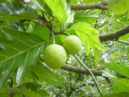 Breadfruit 2
