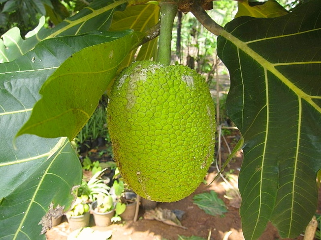 Breadfruit image (Pacific site)