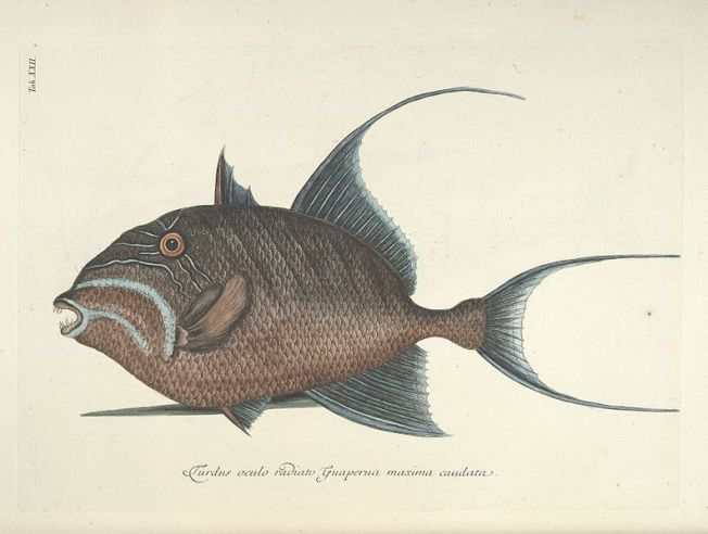 Mark Catesby - Queen Triggerfish
