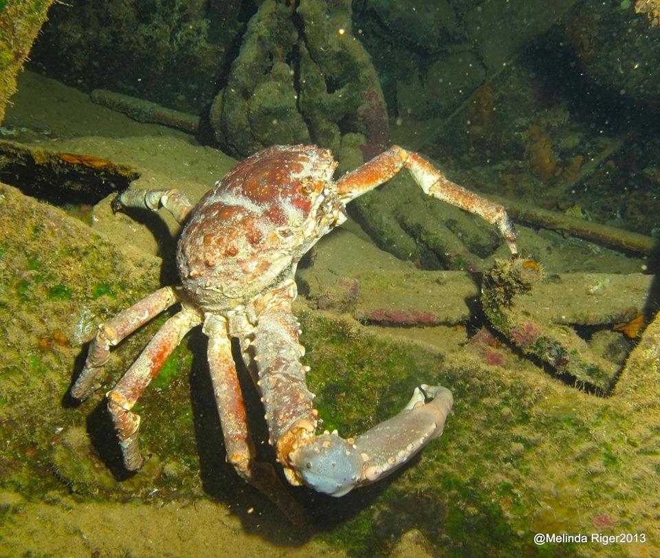 Clinging Crab © Melinda Riger @ G B Scuba