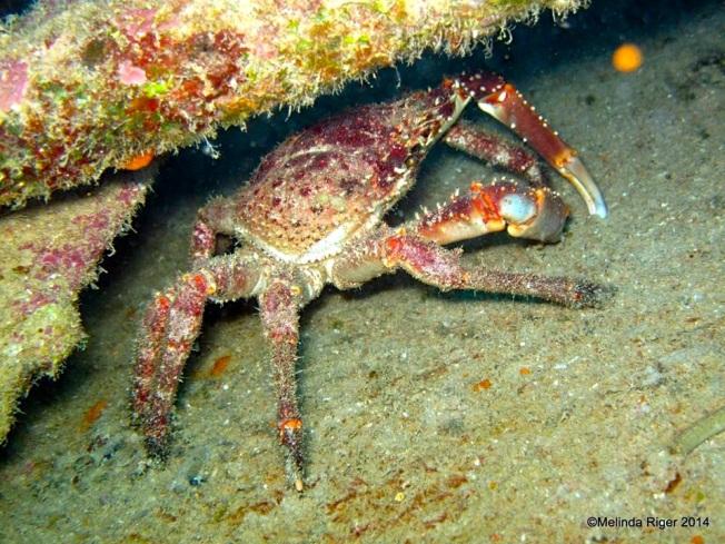 Clinging Crab ©Melinda Riger @ G B Scuba