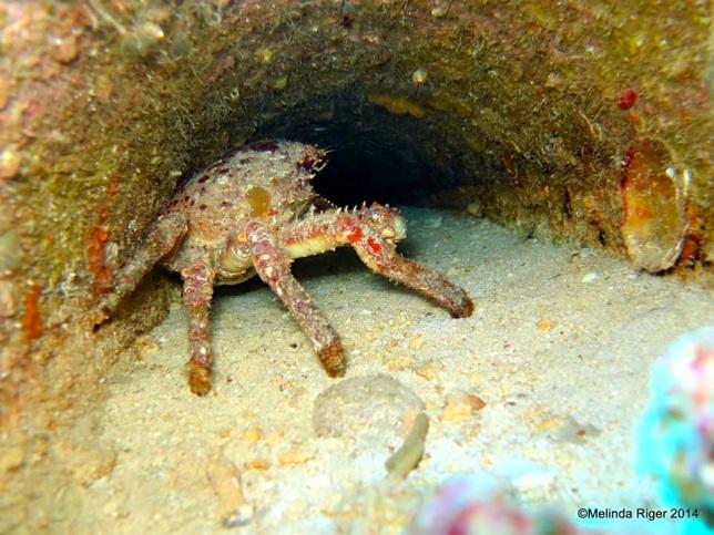 Clinging Crab ©Melinda Riger @ GB Scuba