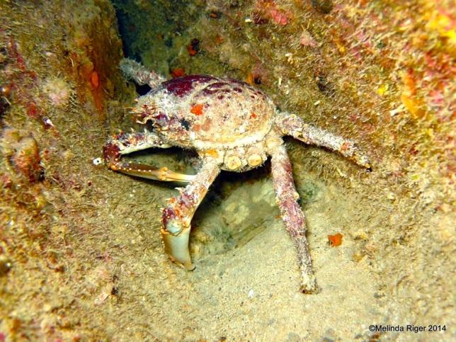 Clinging Crab (legs missing) ©Melinda Riger @ G B Scuba