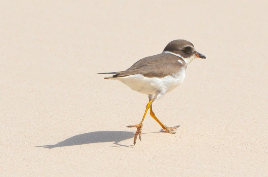 Semipalmated Plover, Abaco (Charles Skinner)