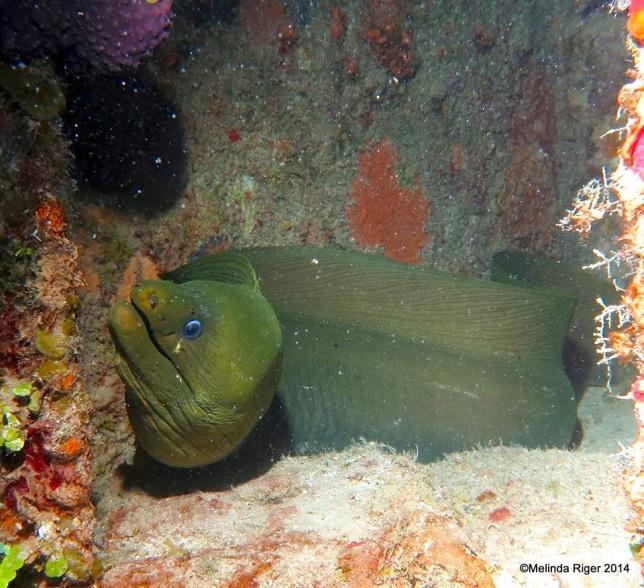 Green Moray Eel ©Melinda Riger @ GB Scuba copy