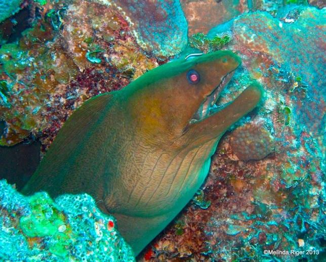 Green Moray Eel ©Melinda Riger @ GB Scuba