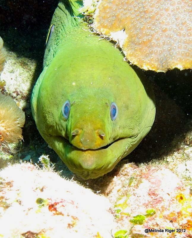 Green Moray Eel ©Melinda Riger @ Grand Bahama Scuba