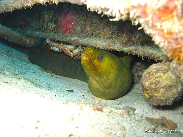 Green Moray Eel (Judy) ©Melinda Riger @ G B Scuba