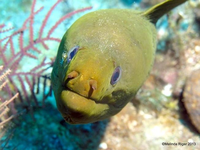 Green Moray Eel Melinda Riger @ G B Scuba