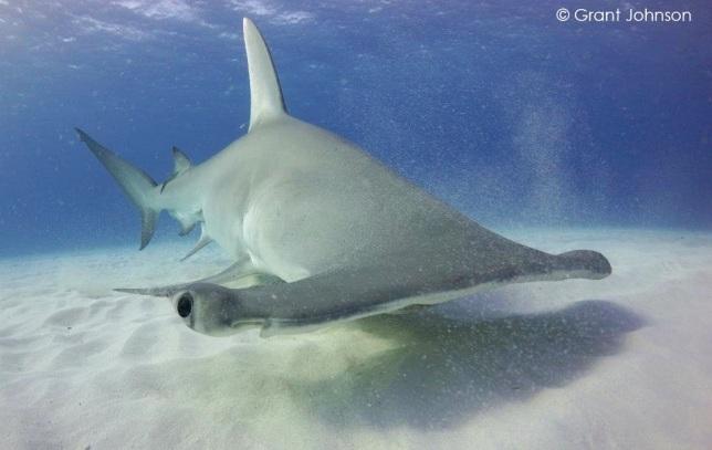 Hammerhead Shark 1 Bimini's Marine Protected Area Campaign