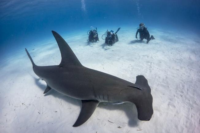 Hammerhead Shark 2 Bimini's Marine Protected Area Campaign