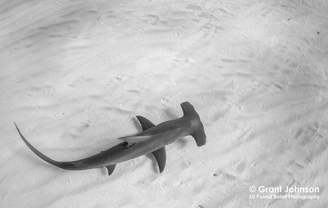 Hammerhead Shark 4 Bimini's Marine Protected Area Campaign