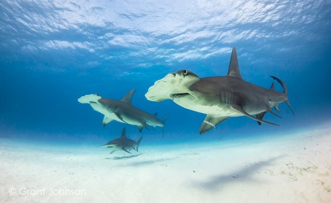 Hammerhead Sharks 3 Bimini's Marine Protected Area Campaign