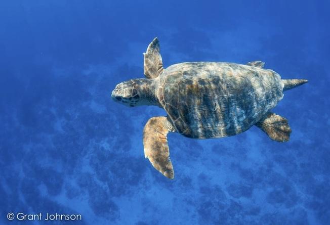 Hawkshead Turtle 2 Bimini's Marine Protected Area Campaign
