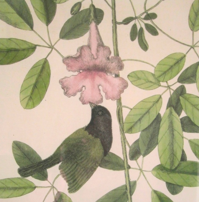 Mark Catesby (Black-faced Grassquit)