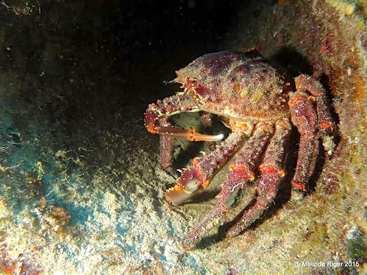 Clinging Crab, Bahamas (Melinda Riger, G B Scuba)