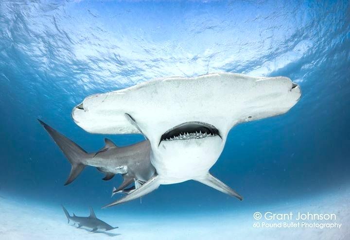 Hammerhead Shark, Bimini (Grant Johnson/ 60 Pound Bullet)
