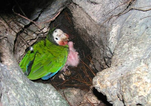 Abaco (Cuban) Parrot Nest & Chick, Bahamas (Caroline Stahala)