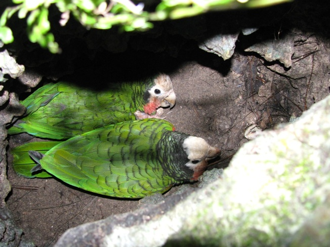 Limestone Holes & Abaco Parrots (Caroline Stahala)