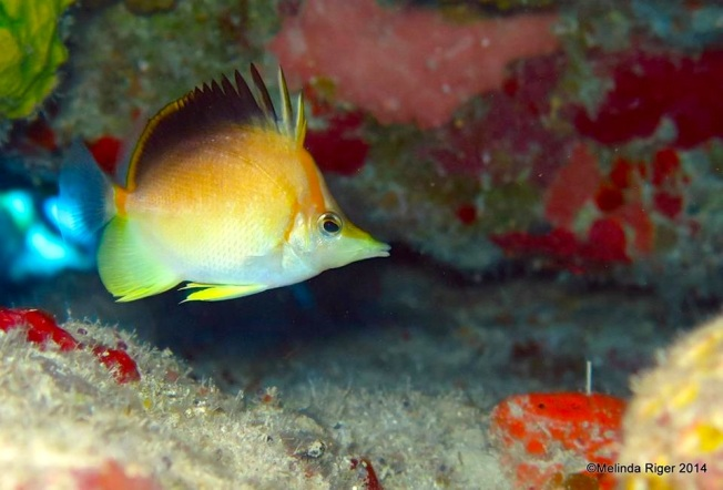 Longnose : Longsnout Buttefly Fish ©Melinda Riger @ G B Scuba copy