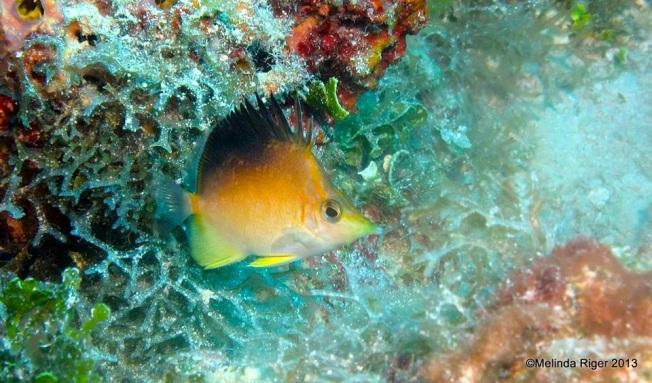 Longnose : Longsnout Butterflyfish  © Melinda Riger @ GB Scuba copy