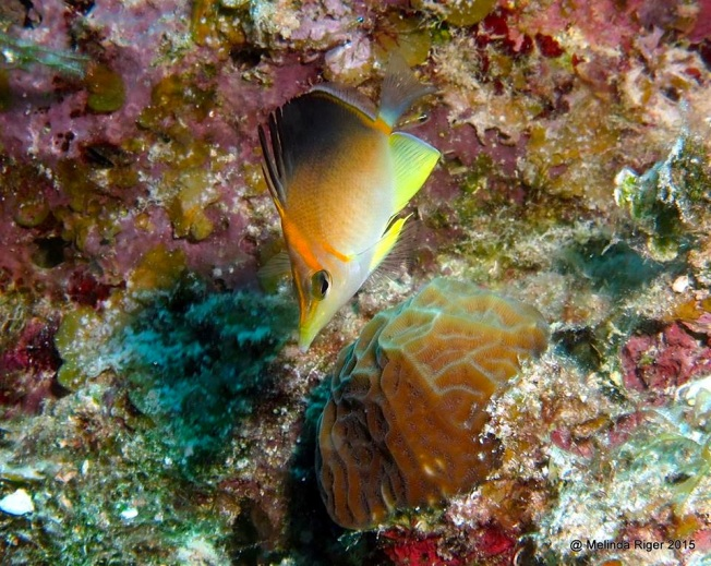 Longnose: Longsnout Butterflyfish ©Melinda Riger @ G B Scuba copy