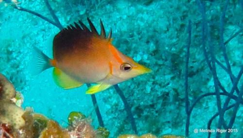 Longnose : Longsnout Butterflyfish ©Melinda Riger @GB Scuba copy
