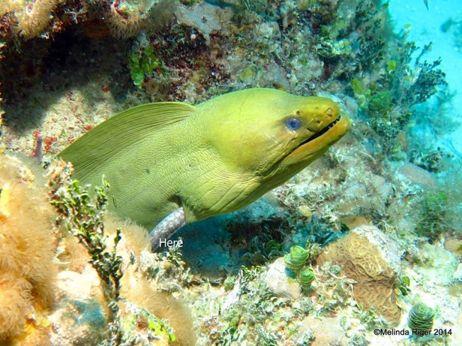 Moray Eel, Green, with lunch (eel) emerging from gill ©Melinda Riger @ Grand Bahama Scuba