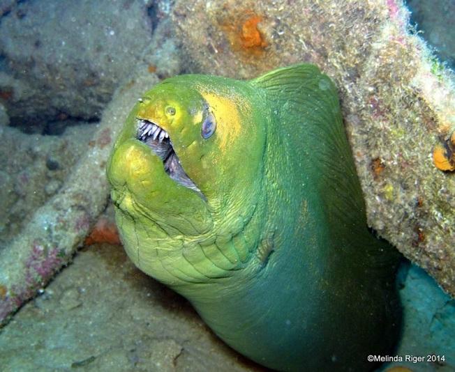 Moray Eel (Yellow) Judy ©Melinda Riger @ G B Scuba