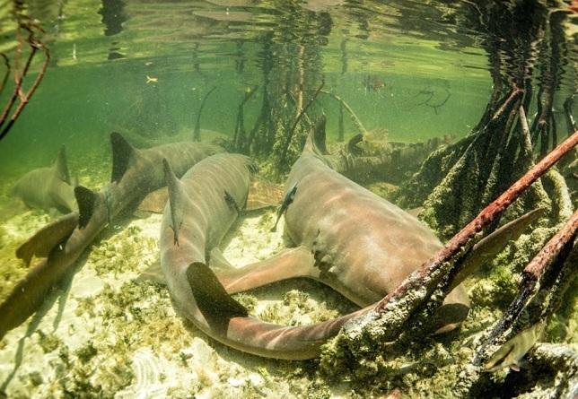 Nurse Sharks Bimini's Marine Protected Area Campaign